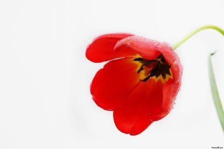 flores rojas significado