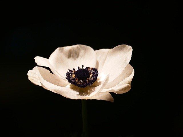 anemona flor