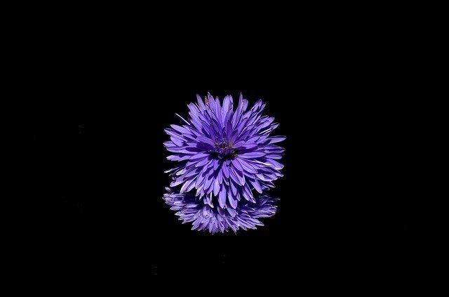Aster flor