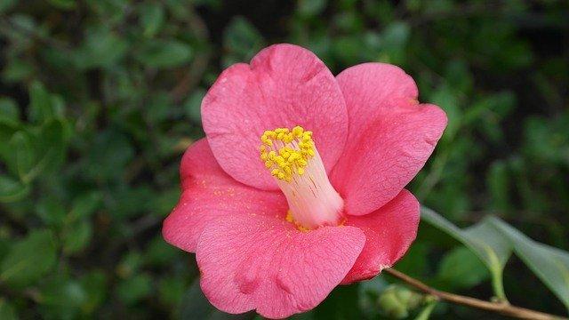 camelias flor