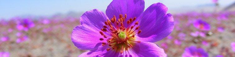 flores en el desierto de atacama luna de miel