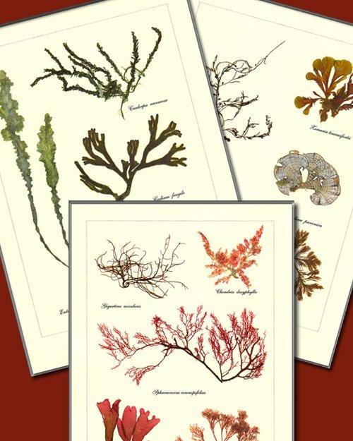 laminas de algas prensadas