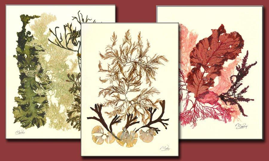 laminas decorativas de algas prensadas